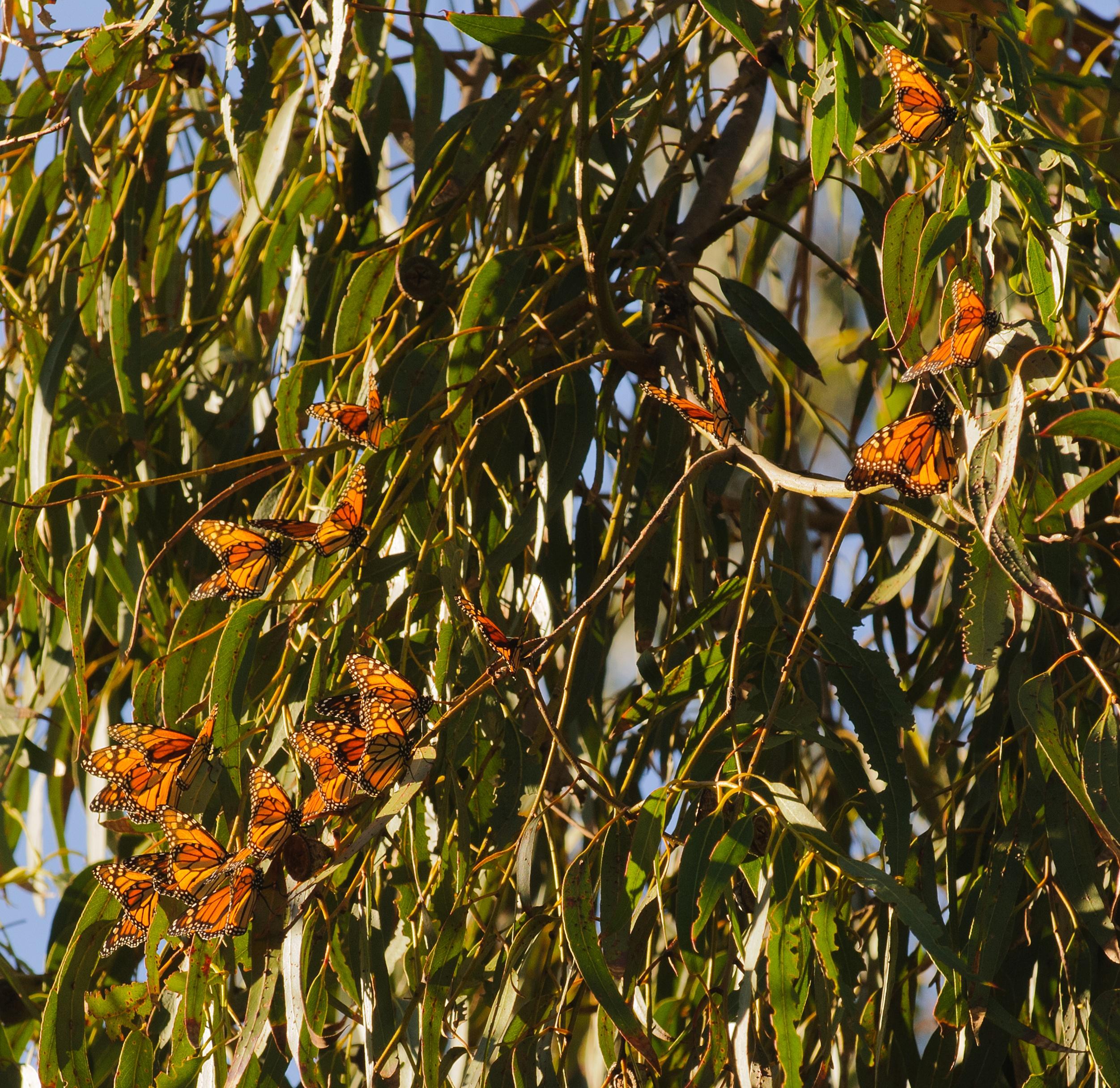 bigstock-Monarch-butterflies-in-a-eucal-86303429.jpg