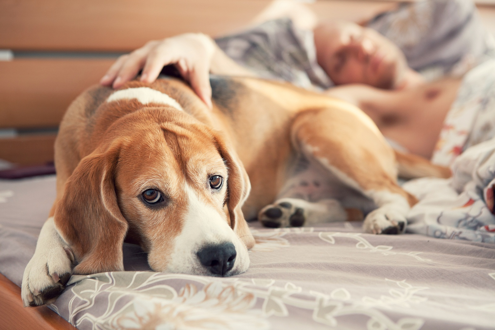 bigstock-Beagle-Lying-In-Bed-With-His-S-103489736.jpg