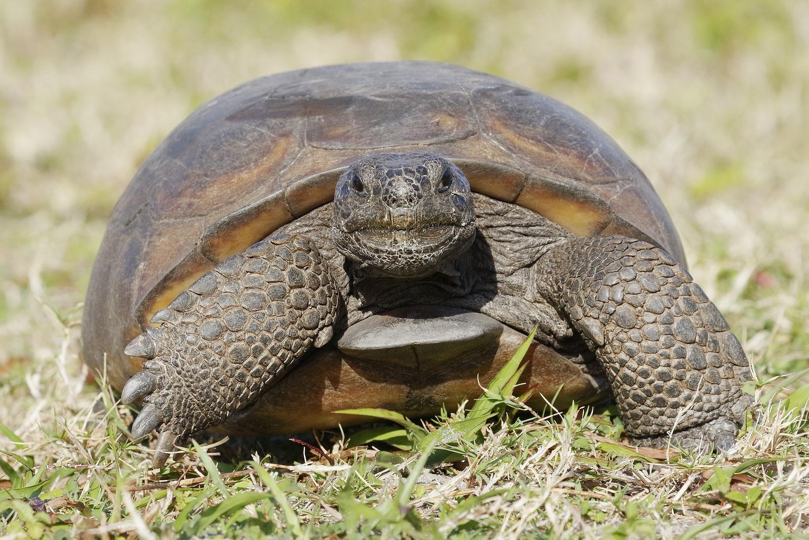bigstock-Endangered-Gopher-Tortoise--F-124838870.jpg