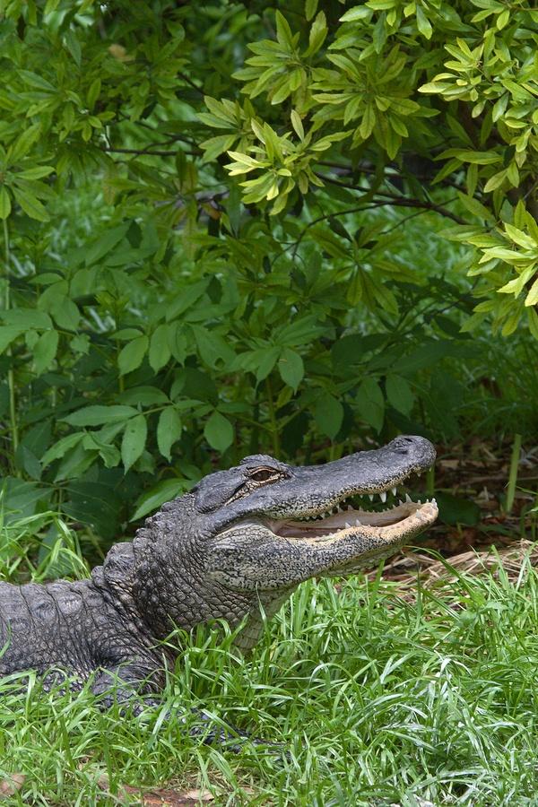 bigstock-Aligators-Jaws-1793398.jpg
