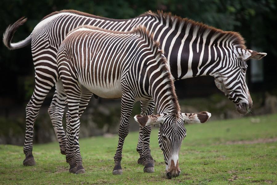 bigstock-Grevy-s-zebra-Equus-grevyi---175355272.jpg