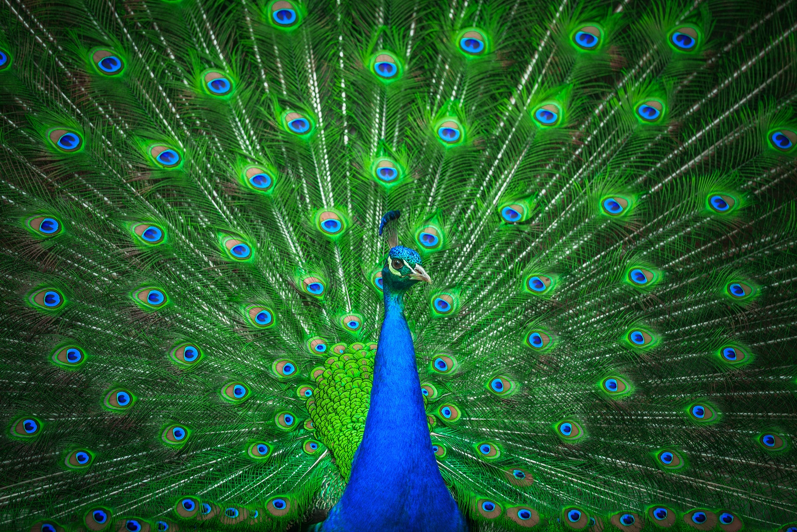 bigstock-Portrait-of-beautiful-peacock-98347724.jpg