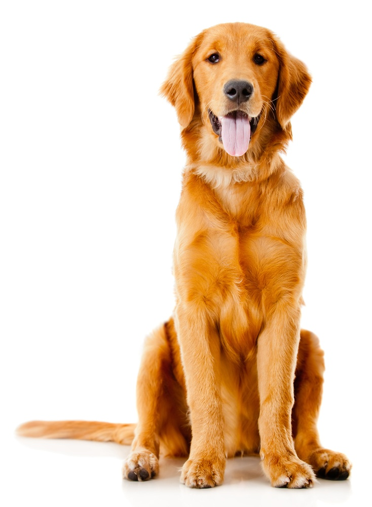 Beautiful dog sitting down - isolated over a white background.jpeg