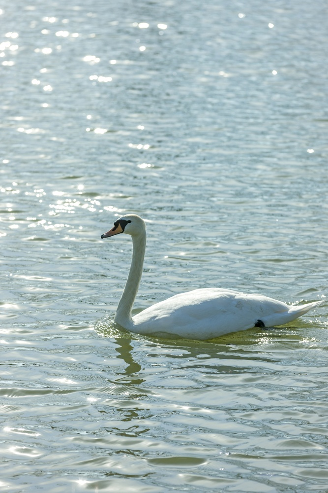 Swan swimming on a calm river in bright sunlight-1.jpeg
